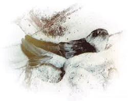 アナツバメの巣